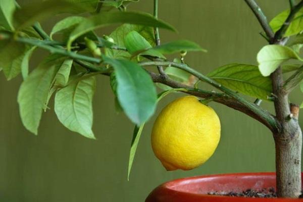 Почему не плодоносит лимон? пять возможных причин. 393624.jpeg