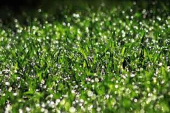 Травы для декоративных лужаек. 396624.jpeg