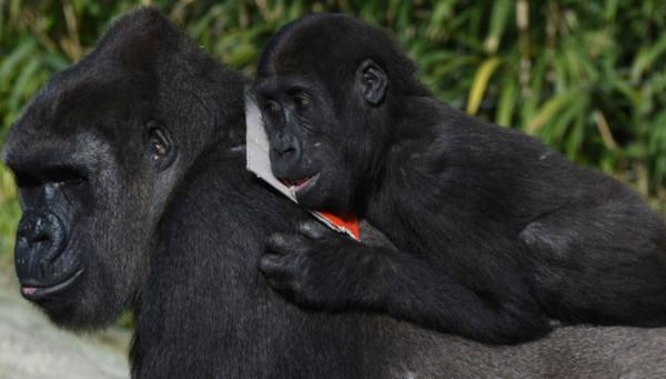 Ученые выяснили, в чем заключается репродуктивный успех у самцов горилл. 393625.jpeg
