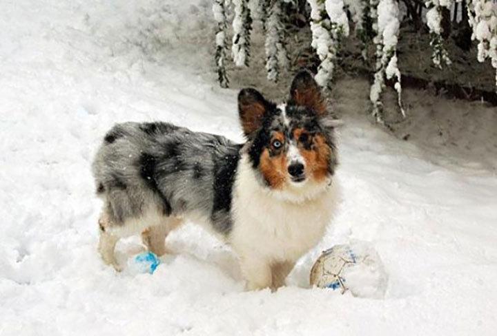 Собачий мир: самые интересные породы метисов. 403625.jpeg