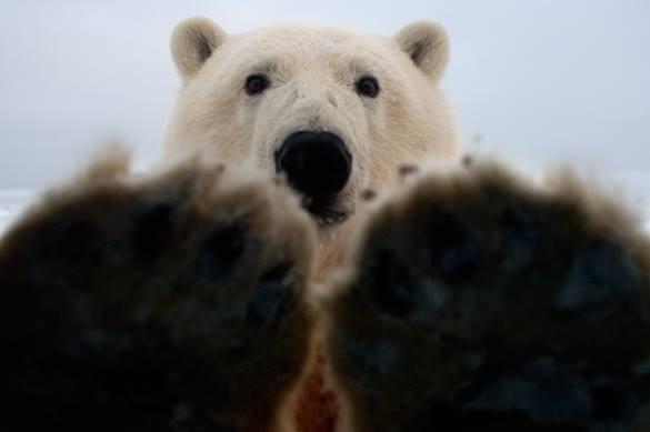 Героический пес прогнал огромного полярного медведя. 304629.jpeg