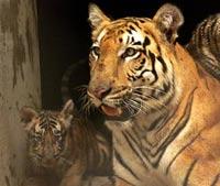 В сахалинском зоопарке тигр напал на 12-летнюю девочку