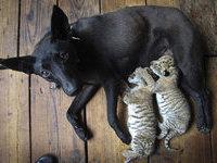 Дворняга стала матерью необычным тигрятам (+фото). 238631.jpeg