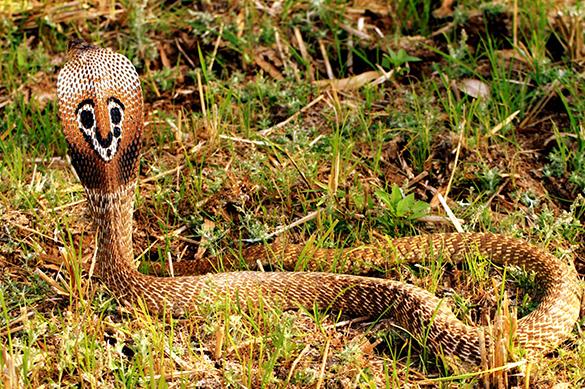 Профессиональный охотник на змей погиб от укуса кобры. Профессиональный охотник на змей погиб от укуса кобры