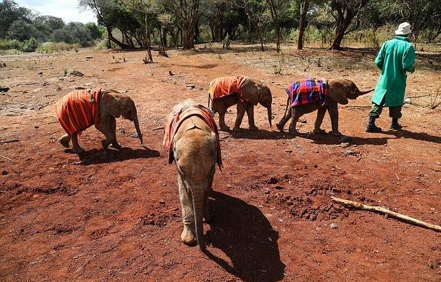 В Африке туристы спасли раненого слоненка, маму которого убили браконьеры. В Африке туристы спасли раненого слоненка, маму которого убили б