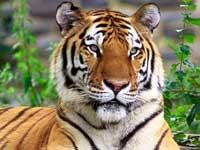 Хабаровские врачи лечат амурского тигра, бросавшегося на машины