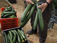 Голландские овощи пугают Онищенко. 258639.jpeg