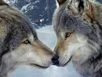 В Италии неизвестные отравили трех волков ради забавы