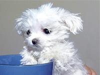 Самая маленькая собака в мире не может гулять, как все