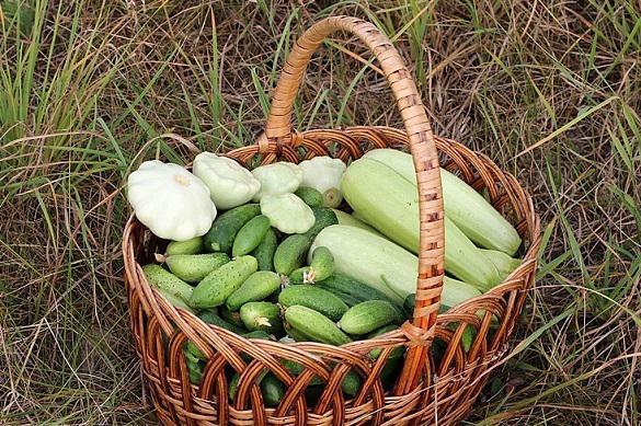 Как правильно выращивать патиссоны. 395645.jpeg