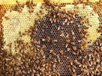 Британские пасечники воруют пчел друг у друга
