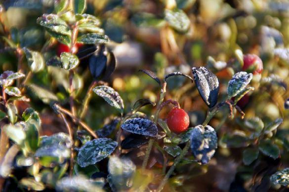 Ученые объяснили, как ягоды защищают от рака. 385651.jpeg