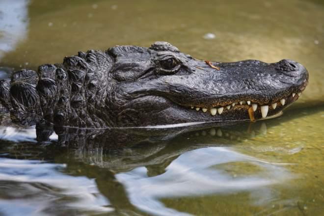 Замороженных  крокодилов разрешил поставлять в России Россельхознадзор. 300658.jpeg