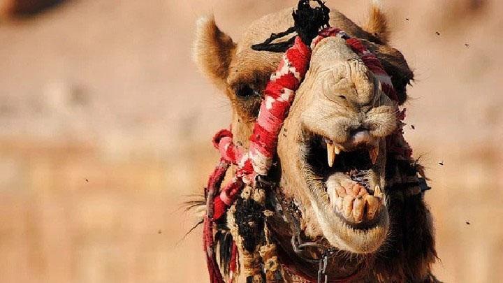 В Саратове обнаружен бешеный верблюд. 393662.jpeg