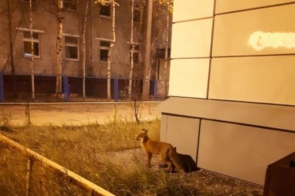 Дикий хищник бегает по улицам Нижневартовска. 393666.jpeg