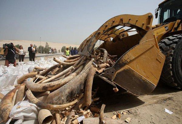 Браконьеры чуть не заработали миллионы долларов на контрабанде слоновой кости через Дубай. 318667.jpeg