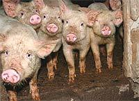 На Ставрополье произошла вспышка чумы свиней