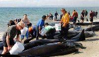 В Австралии спасли 11 китов-самоубийц
