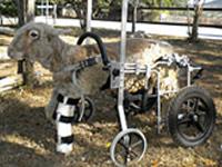 Трехногий баран научился передвигаться в инвалидной коляске