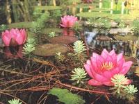 В Корее пройдет фестиваль цветов лотоса