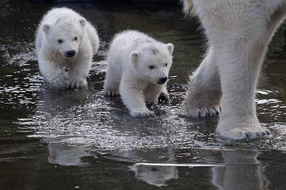 В голландском зоопарке полярные медвежата вышли