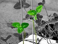 Растения способны узнавать своих родственников