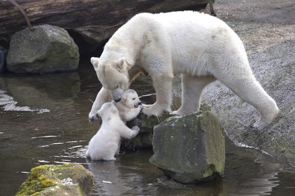 """В голландском зоопарке полярные медвежата вышли """"на свободу"""". белый медведь в зоопарке"""