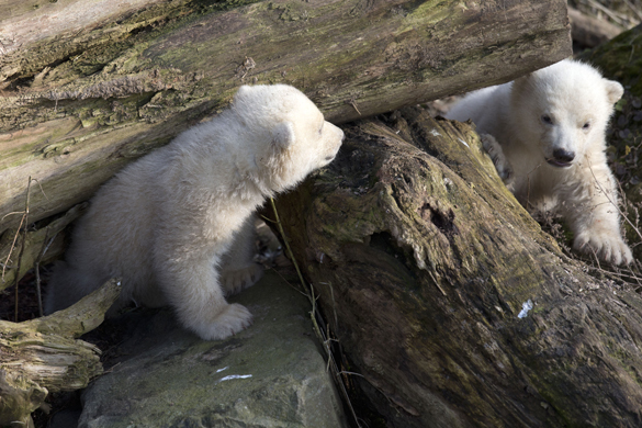 """В голландском зоопарке полярные медвежата вышли """"на свободу"""". Белые медвежата"""