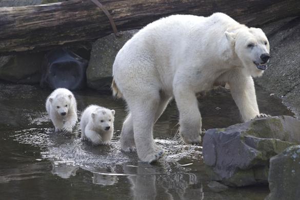 """В голландском зоопарке полярные медвежата вышли """"на свободу"""". В голландском зоопарке полярные медвежата"""