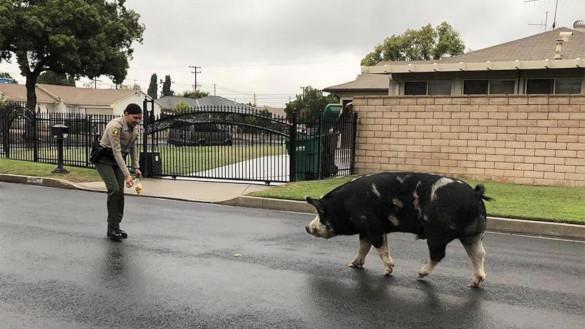Не свинка Пеппа: хряка размером с лошадь полиция заманила домой чипсами. 393685.jpeg