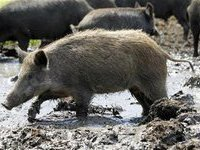 Америка борется с дикими кабанами при помощи свиней-иуд. 282690.jpeg