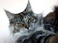 Гигантский кот из США стал героем книги Гинесса. 236693.jpeg