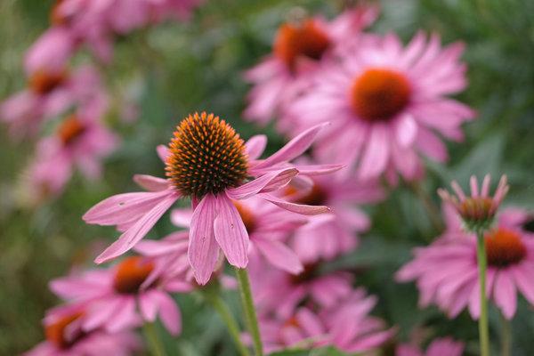 Травы и цинк против простуд. эхинацея пурпурная