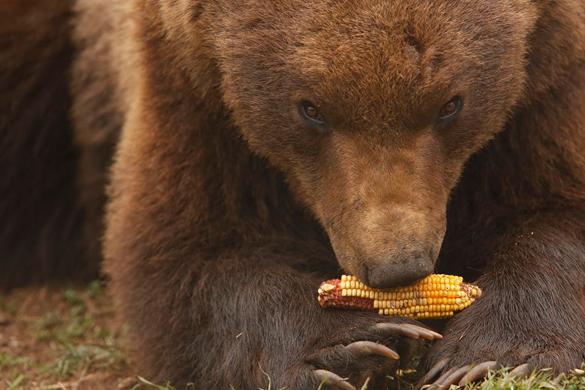 В Хорватии существует приют для медведей. В Хорватии заботятся о медведях