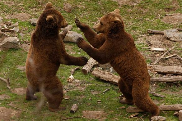 В Хорватии существует приют для медведей. Хорватские медведи из приюта