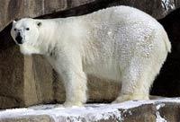 В Швеции построен крупнейший зоопарк белых медведей