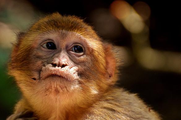 При закупке РАН обезьян для опытов украли практически полмиллиарда руб.
