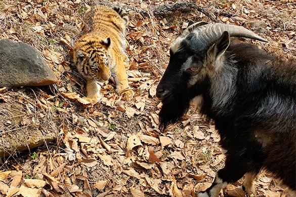 Чудес не бывает: очередные козел и тигр не ужились