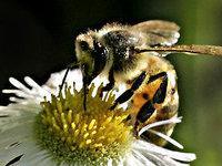 пчелы. 237705.jpeg