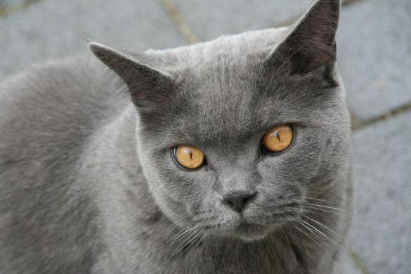 Особо умилительные кошки: залог успеха - плоская морда. британская