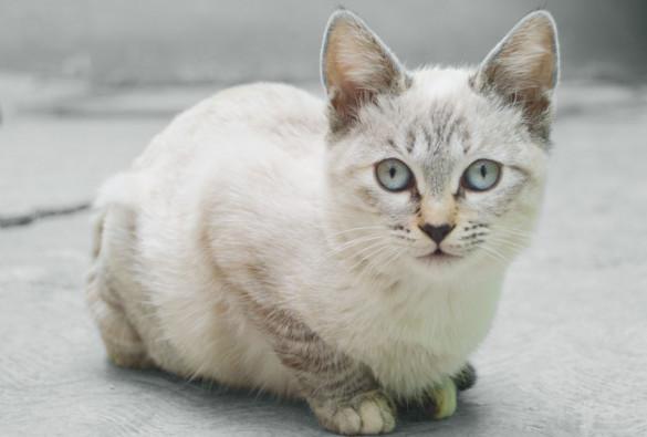 Особо умилительные кошки: залог успеха - плоская морда. бурмилла