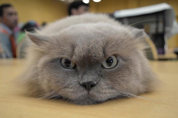 Особо умилительные кошки: залог успеха - плоская морда. гималайская