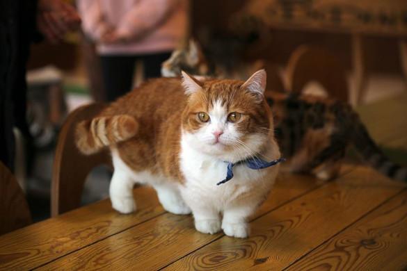 Особо умилительные кошки: залог успеха - плоская морда. манчкин