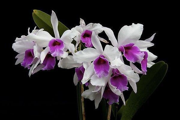 Удивительные орхидеи: советы по уходу в домашних условиях. 393711.jpeg