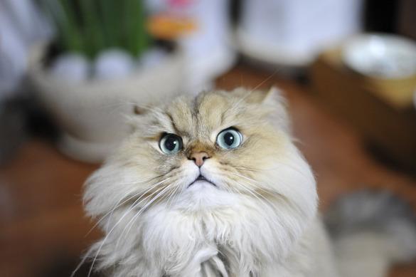 Особо умилительные кошки: залог успеха - плоская морда. перс