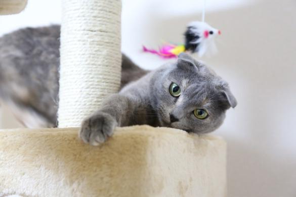 Особо умилительные кошки: залог успеха - плоская морда. шотландская