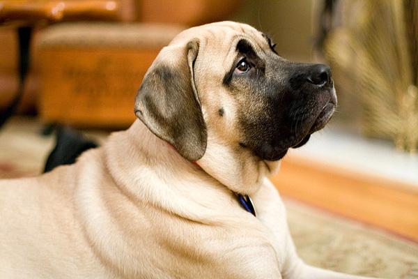 Правильно ли Вы кормите Вашу собаку крупной породы?. 393713.jpeg