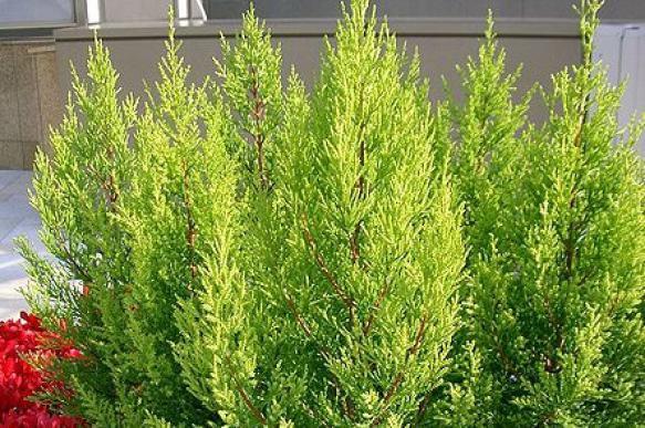 Хвойные растения для дома. 395713.jpeg