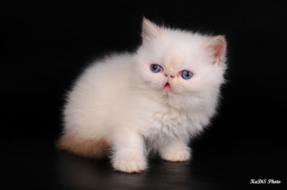Особо умилительные кошки: залог успеха - плоская морда. экзотическая
