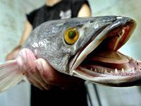 70 процентов рыбных консервов делают не по ГОСТу. 247723.jpeg